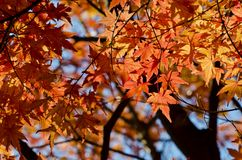 Orange Maple in the garden Stock Photos