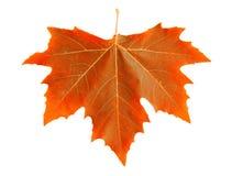 Orange maple leaf. Stock Images