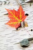 Orange Maple Leaf. Against white paper birch tree with fungus growth on tree Stock Photo