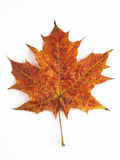 Orange maple leaf. A symbol of autumn Royalty Free Stock Photo