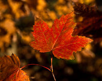 Orange Maple Leaf Stock Photo