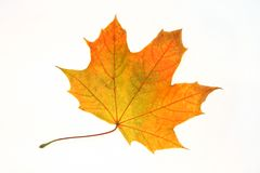 Orange maple leaf Stock Photo
