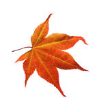 Orange maple leaf. Shooted in the Vizille park (France) and isolated Royalty Free Stock Images