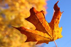 Orange maple leaf in Autumn Stock Image