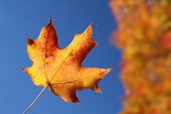 Orange maple leaf in Autumn Stock Photo