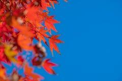Orange Maple Leaf, Autumn in Kyoto, Japan. Orange Maple Leaf and blue sky, Autumn in Kyoto, Japan stock photo