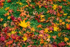 Maple Leaves fall to the floor, Autumn in Kyoto, Japan royalty free stock image