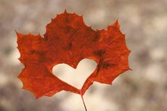 Orange maple leaf with cut out heart close-up, Autumn background.  royalty free stock photography