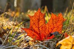 Orange maple leaf. A fallen orange maple leaf Stock Photos