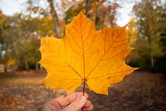 Orange maple leaf in a hand in the foreground stock photography