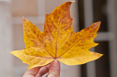 Orange maple leaf holding by fingers Royalty Free Stock Photography