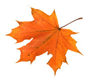 Orange maple leaf isolated Stock Photos