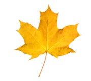 Orange maple leaf isolated on white. Royalty Free Stock Photography