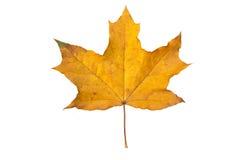 Orange maple leaf isolated on white. Autumn dry leaf Royalty Free Stock Photo