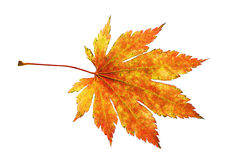 Orange maple leaf. Stock Photo