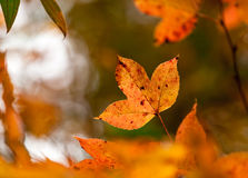 Orange maple leaf on tree. Stock Photography