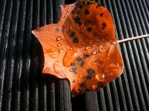 Orange maple leaf with water drops. On wooden floor Stock Photo