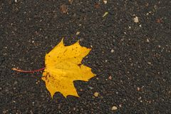 Orange maple leaf on wet asphalt. Stock Image