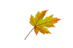 Orange Maple Leaf on White. Photo of a bright orange maple leaf on a white background stock image