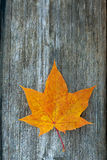 Orange maple leaf Stock Photography