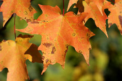 Orange Maple Leafs Stock Photography