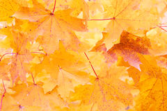 Orange maple leafs Stock Photo