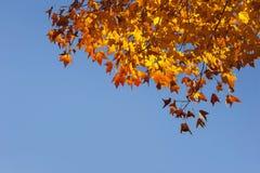 Orange maple leafs,blue sky. Stock Photos