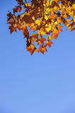 Orange maple leafs,blue sky. Royalty Free Stock Photography