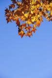 Orange maple leafs,blue sky. Royalty Free Stock Photography