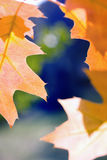 Orange maple leaves against blue sky Stock Photo