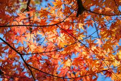 Orange Maple leaves in autumn garden with sunlight Stock Images