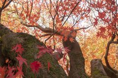 Orange maple leaves during autumn. Royalty Free Stock Photography