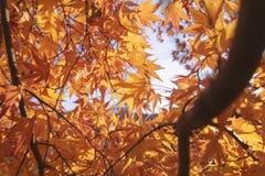 Orange maple leaves during autumn. Stock Image