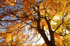 Orange maple leaves and branches. Beautiful, autumnal background with canopy of leaves and branches stock photography