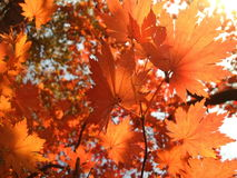 Orange maple leaves Stock Image