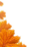 Orange maple leaves collage Stock Photography