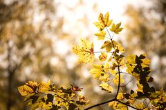 Orange maple leaves in a forest in Austria, autumn sun royalty free stock images