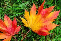 Orange maple leaves on green grass Royalty Free Stock Photography