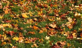 Orange maple leaves green grass. Orange maple leaves on green grass Stock Photography