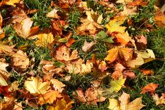 Orange maple leaves on green grass. Abstract seasonal background Stock Image