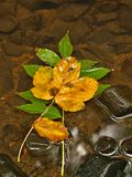 Orange maple leaves on stone below increased water level. Royalty Free Stock Image