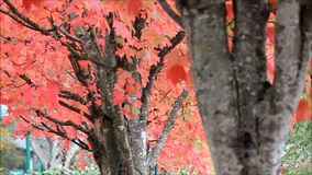 Bright orange and red fall leaves. Orange maple leaves and tree trunks in October in stock footage