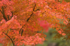 Orange maple tree Stock Photos