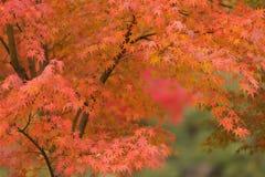 Orange maple tree stock photos