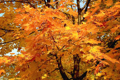 Orange maple tree in autumn Royalty Free Stock Photo