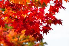Orange maple tree in autumn season, maple tree branch bright colors in orange, red and yellow in the forest. Red maple tree in autumn season, maple tree branch Royalty Free Stock Images