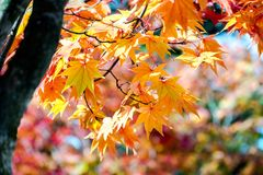Orange maple tree in autumn season, maple tree branch bright colors in orange, red and yellow in the forest. Red maple tree in autumn season, maple tree branch Stock Photo