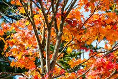 Orange maple tree in autumn season, maple tree branch bright colors in orange, red and yellow in the forest. Turn to red in a whole tree Royalty Free Stock Images