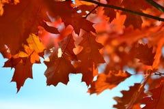 Orange Maple Tree during Daytime royalty free stock images