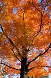 Orange Maple Tree Fall Foliage Royalty Free Stock Photos